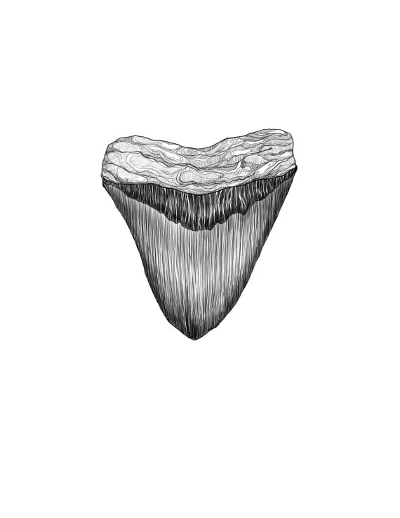 Megalodon tooth Illustration